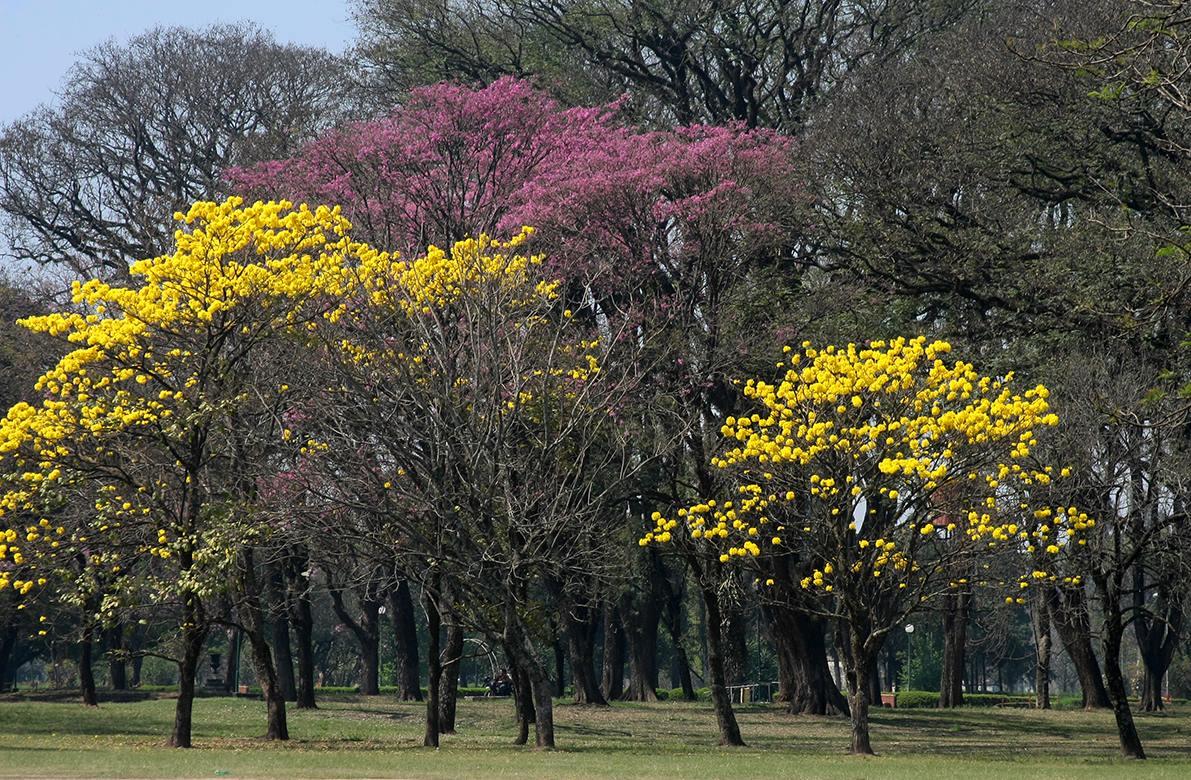 Tucumán comenzó a estallar de colores gracias a los lapachos - Tucumán - el  tucumano
